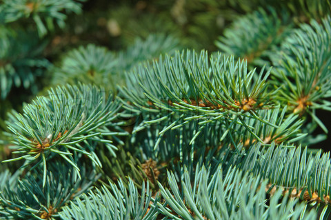 Pine tree, the symbol of Christmas. Closeup of branches