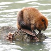 Why Should the Bee Imitate the Beaver? Because Beavers Play at Their Work.
